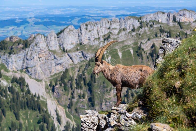 Capricornio alpino de cuernos masculino del cabra montés que se coloca en roca foto de archivo libre de regalías