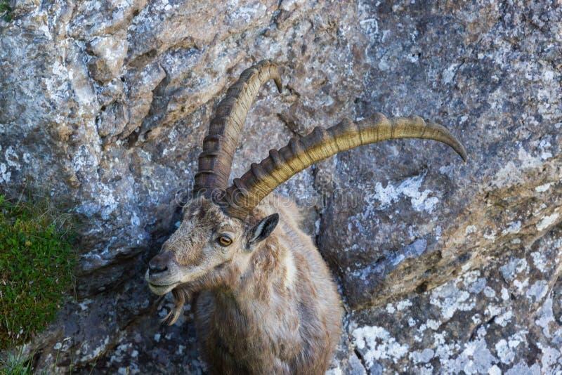 Capricorno alpino adulto di capra ibex del ritratto che sta sulla roccia immagine stock libera da diritti