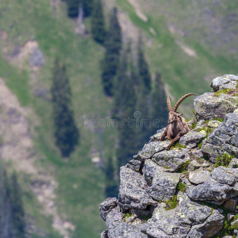 Capricorno alpino maschio adulto di capra ibex che si siede sulla roccia all'abisso immagine stock