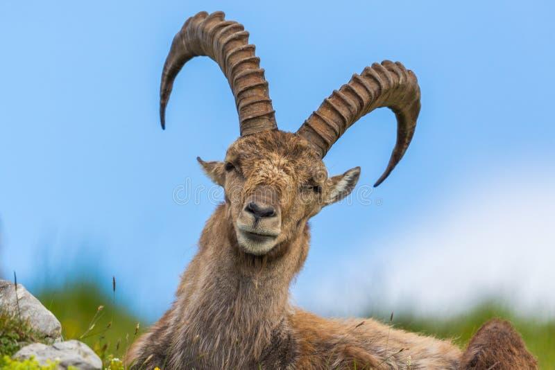 Capricorno alpino naturale di capra ibex del ritratto che si siede nel prato immagine stock