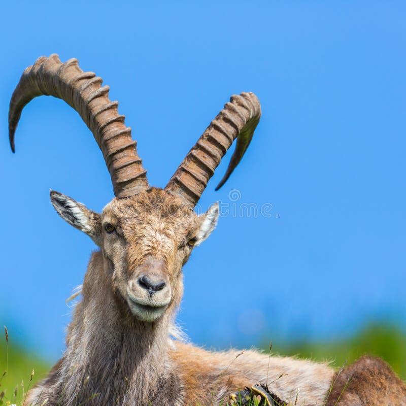 Capricorno alpino naturale di capra ibex del ritratto dettagliato che si siede nel prato fotografie stock libere da diritti