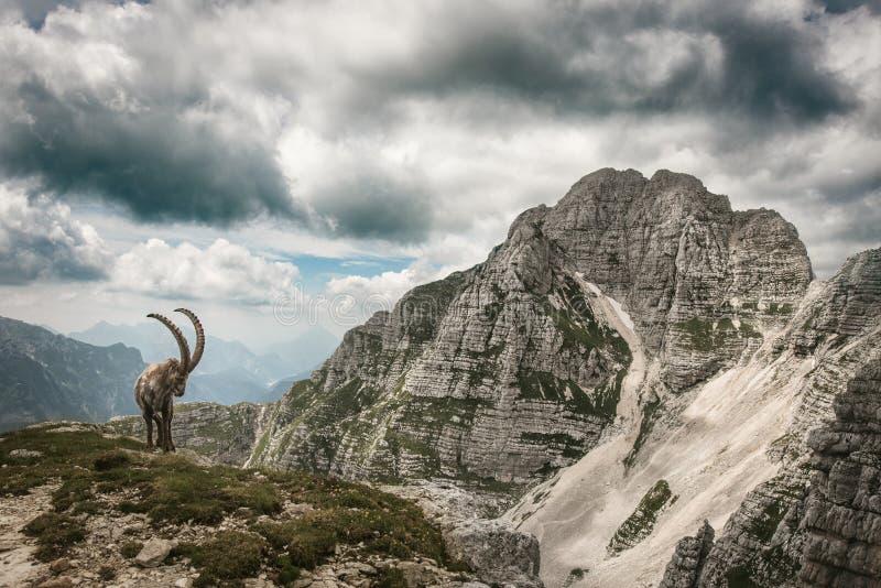 Capricorno delle uova in Julian Alps immagine stock libera da diritti