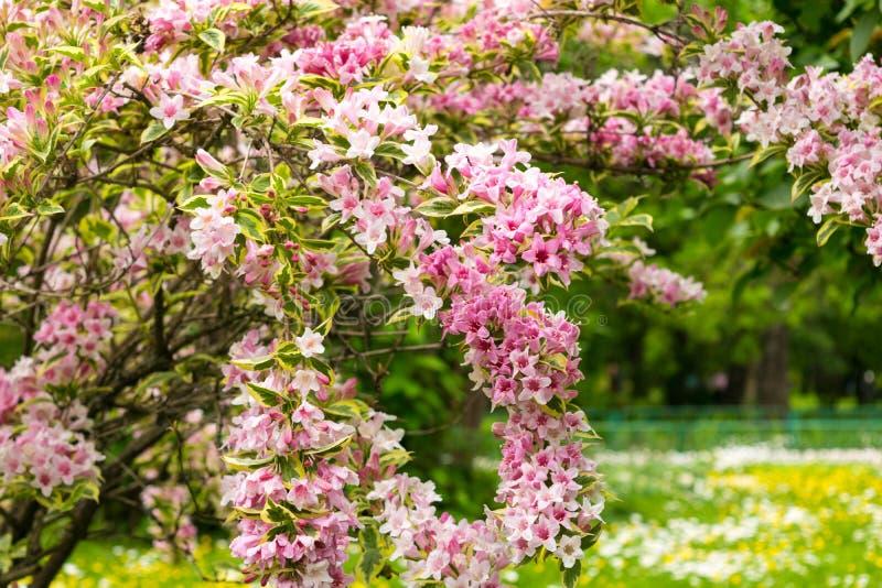 Caprifoliaceae rosado de las flores de la Florida del Weigela en el parque foto de archivo