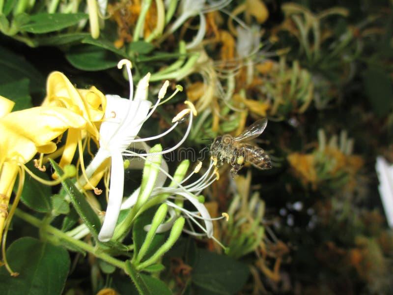Caprifolium y abejas del Lonicera fotos de archivo
