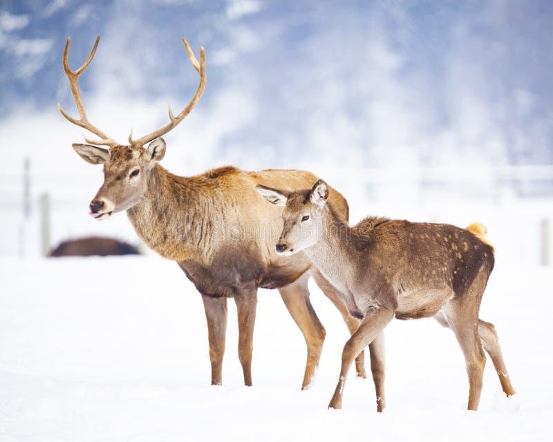 caprioli e maschio nobile dei cervi nella neve di inverno fotografia stock libera da diritti