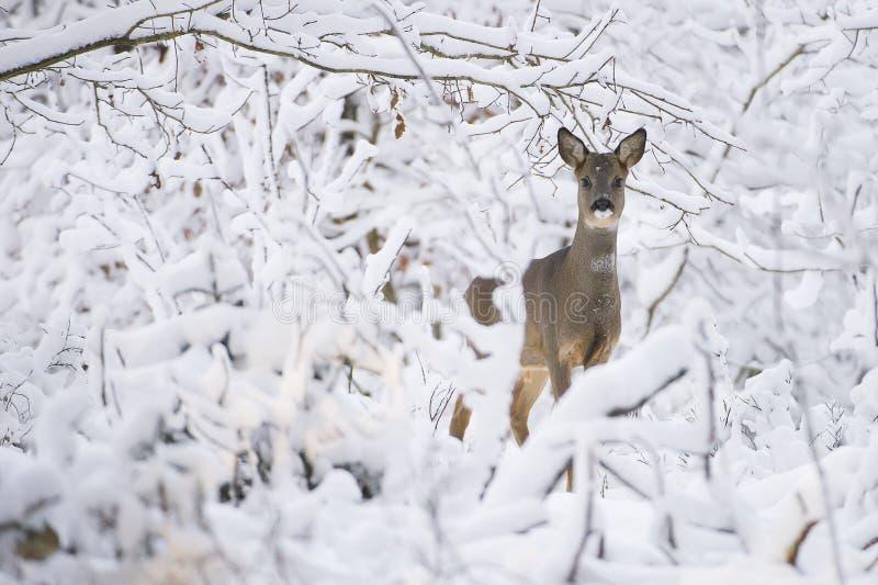 Caprioli nella neve durante l'inverno fotografia stock libera da diritti
