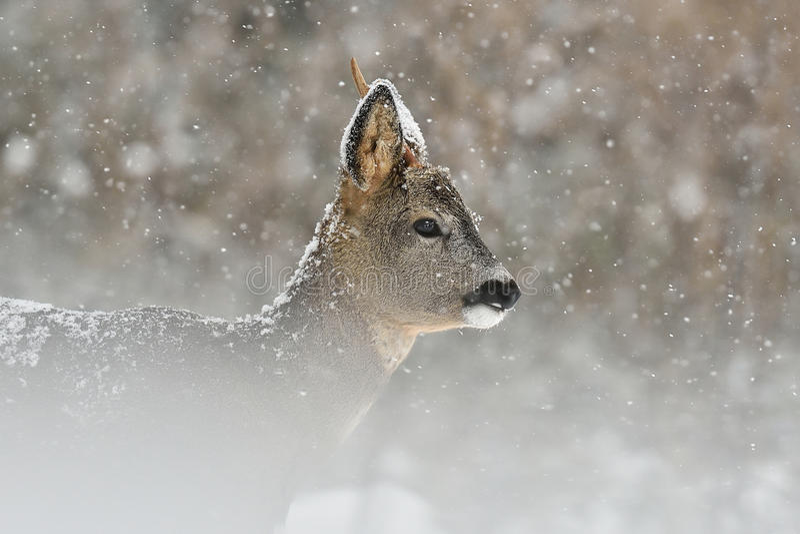 Caprioli in precipitazioni nevose fotografia stock