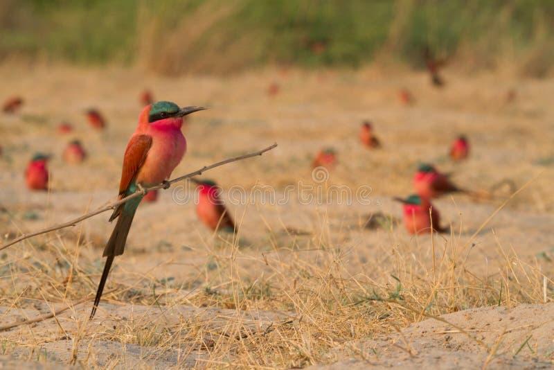 Caprivi perching bee-eater royaltyfri foto