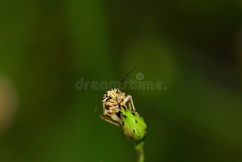 Capse minuscule sur un bourgeon floral photos libres de droits