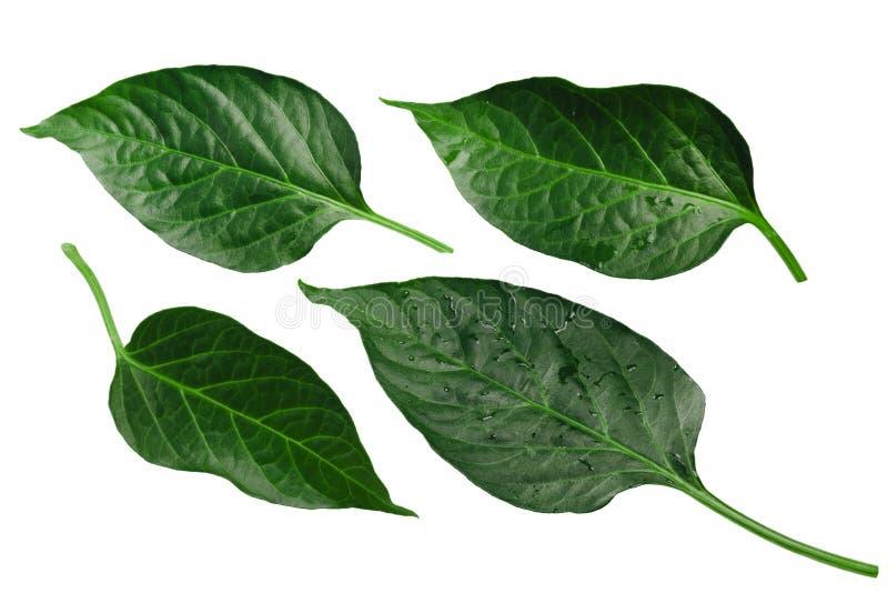 Capsicum annuum pieprzowi liście, ścieżki zdjęcie stock