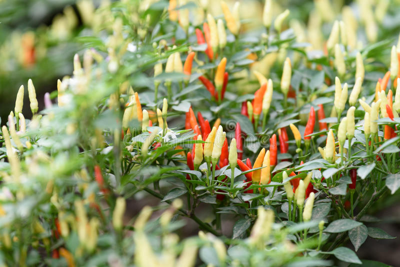 Capsicum annuum. Taken in Japan in the autumn royalty free stock photos