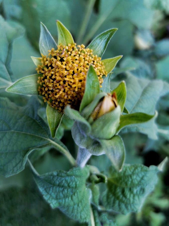 Capsula di maturazione dei semi dell'echinacea nel giardino fotografia stock