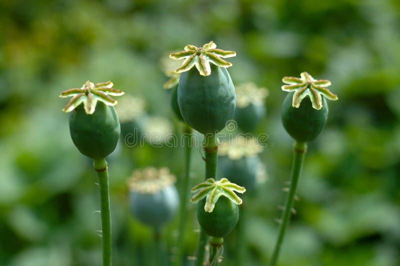 capsule de fleur de pavot image stock image du herbe 10957923. Black Bedroom Furniture Sets. Home Design Ideas