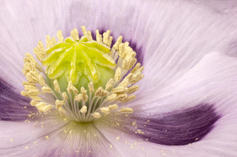 Download Capsule Of Poppy In Flower Bed Closeup Stock Photo - Image: 31749822