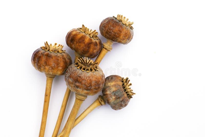 Capsule secche del seme del papavero indiano immagine stock libera da diritti