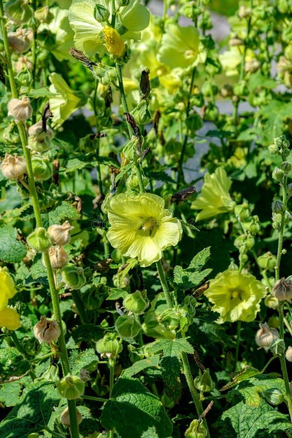 Capsules jaune pâle de fleurs et de graines de rose trémière de floraison, Al photos stock