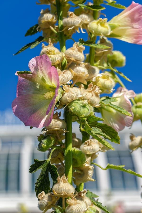 Capsules jaune pâle et roses de fleur et de graines de Commo de floraison photo libre de droits