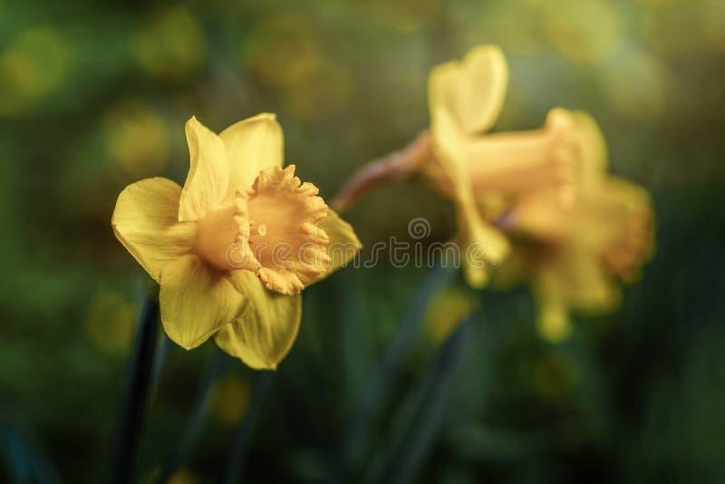 Captação macro das flores do narciso amarelo fotos de stock