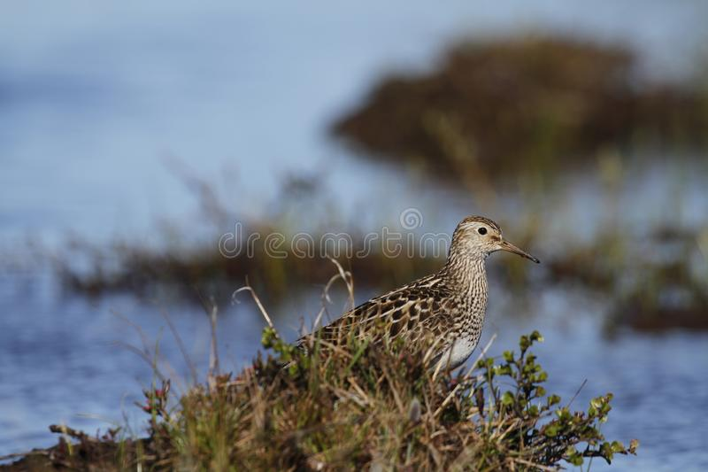 Pectoral Sandpiper, a medium sized sandpiper and shorebird searching for food among grass. Caption / Description Pectoral Sandpiper (Calidris melanotos) royalty free stock photos