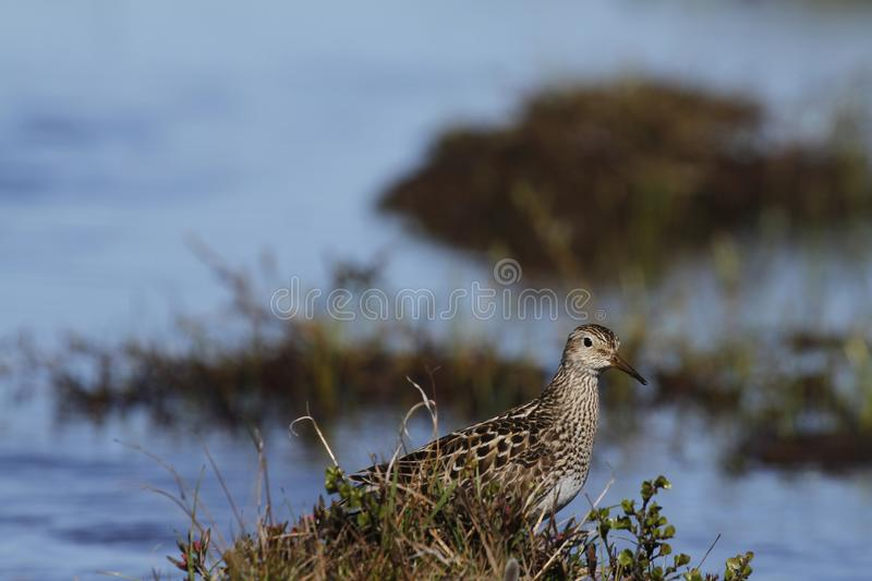 Pectoral Sandpiper, a medium sized sandpiper and shorebird standing among grass. Caption / Description Pectoral Sandpiper (Calidris melanotos), a royalty free stock images