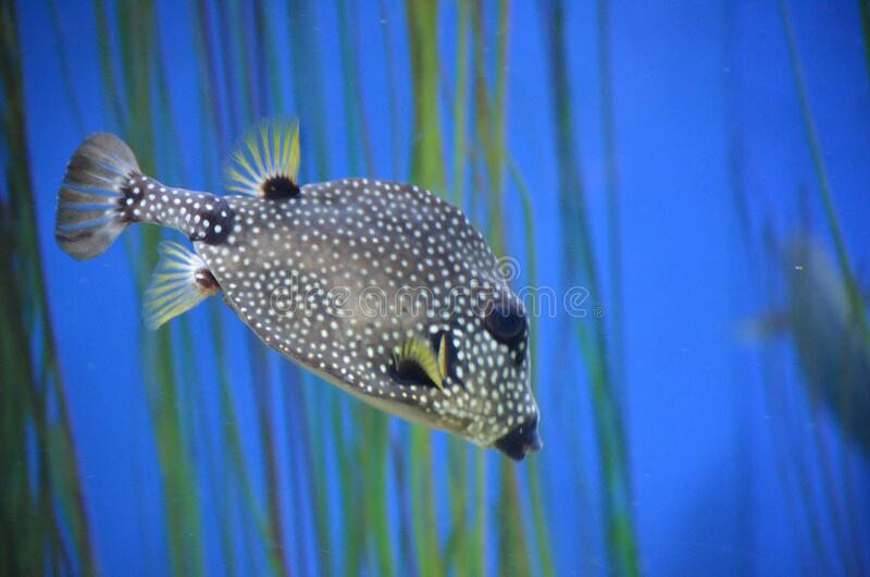 Captivating Image of Black and White Spotted Trunkfish royalty free stock photos