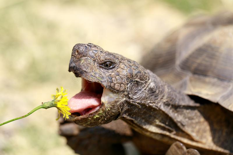Captive adult male California Desert Tortoise eating Dandelion. royalty free stock photo