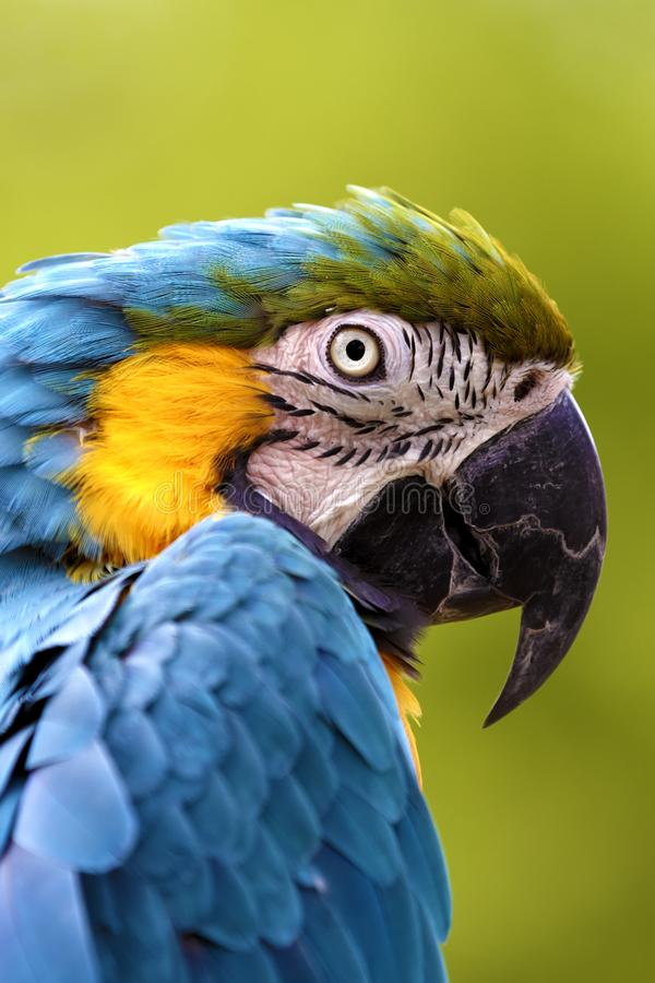 A Captive Blue and Yellow Macaw stock photography