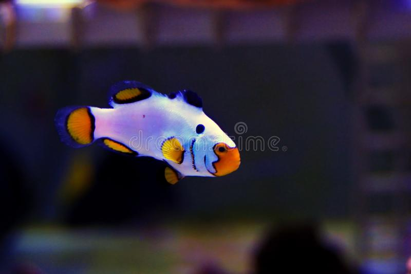 Captive-Bred Extreme Snow Onyx Clownfish  - Amphriprion ocellaris x Amphriprion percula royalty free stock image