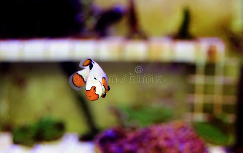 Captive-Bred Extreme Snow Onyx Clownfish  - Amphriprion ocellaris x Amphriprion percula. He Captive-Bred Snow Onyx and Extreme Snow Onyx are a hybrid cross stock photos