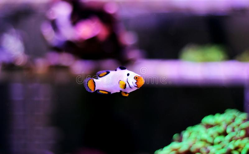 Captive-Bred Extreme Snow Onyx Clownfish  - Amphriprion ocellaris x Amphriprion percula stock photo