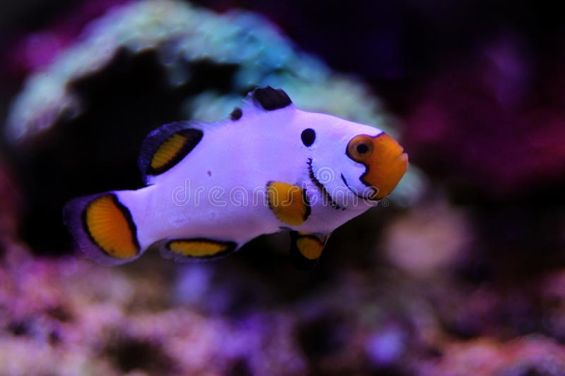 Captive-Bred Extreme Snow Onyx Clownfish  - Amphriprion ocellaris x Amphriprion percula stock photography