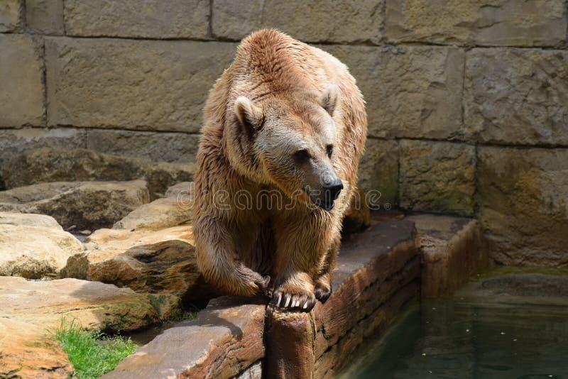 Captive brunbjörn royaltyfri foto