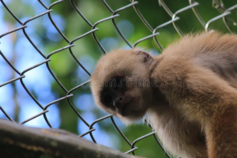 A captive capuchin monkey, cebus albifrons, in a cage with the face shaded. Captive capuchin monkey, cebus albifrons, in a cage with the face shaded royalty free stock photography