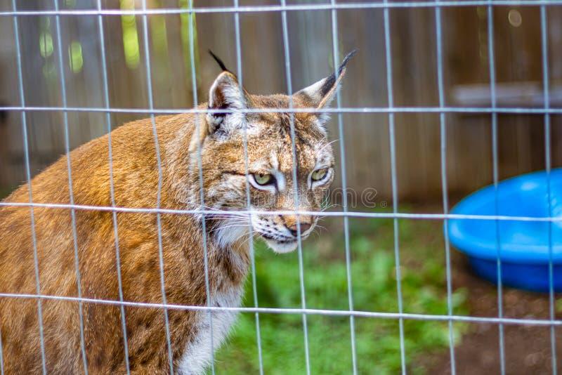 Captive Eurasian Lynx in a Zoo stock photos