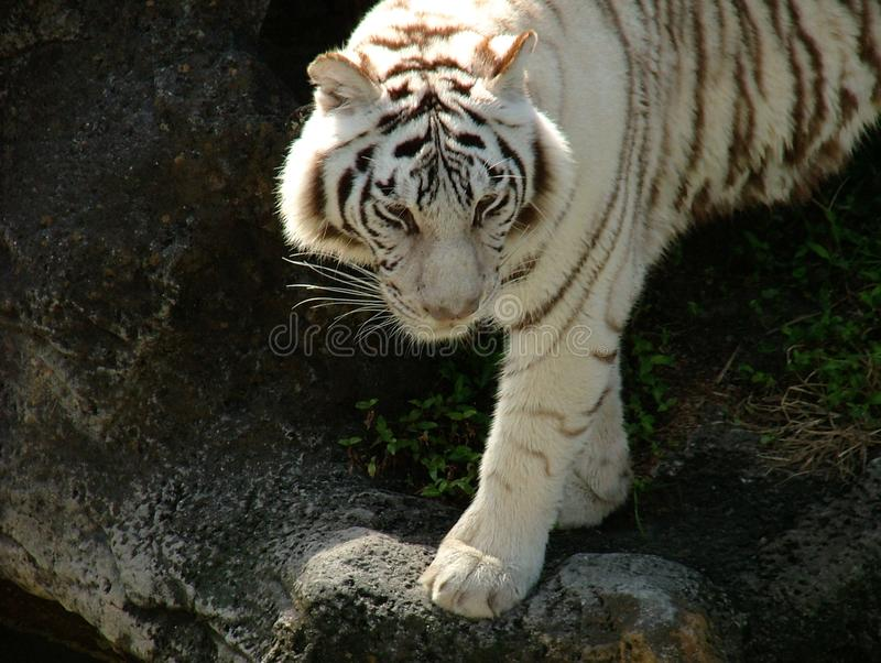 White Tiger Observation Rock background. An endangered White Tiger standing with one foot forward with a stone rock background royalty free stock image