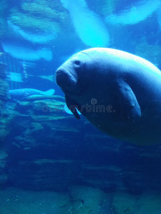 Manatee at Sea World Orlando Florida royalty free stock images