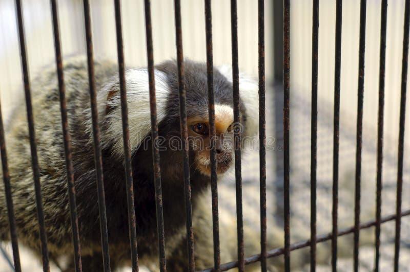 Download The captive monkey stock image. Image of disturbing, lock - 20550631
