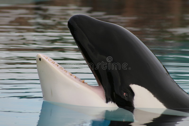 Captive orca stock images