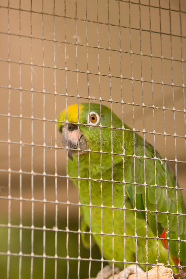 Free Captive Parrot Royalty Free Stock Image - 9679196