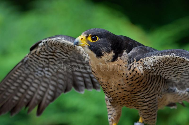 Captive peregrine falcon spreads its wings stock photography