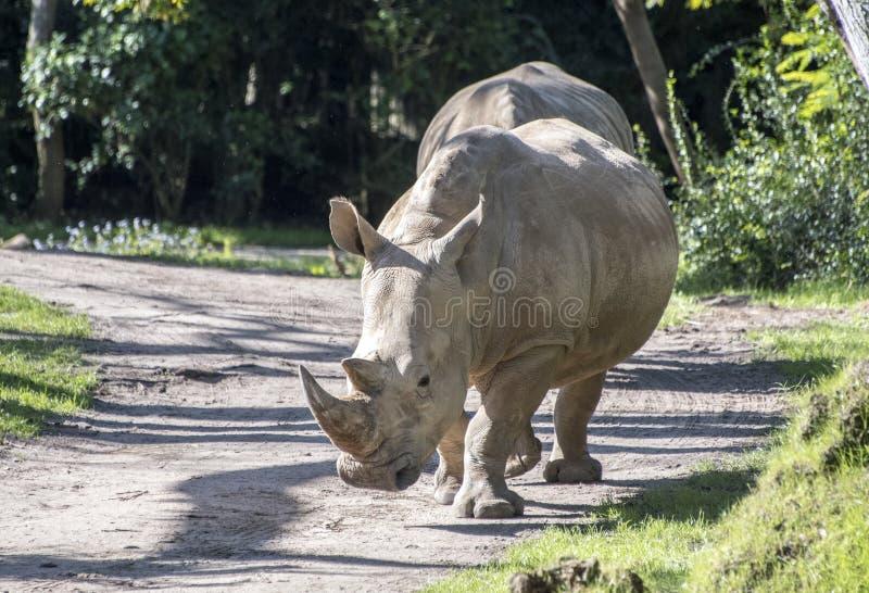 Captive Rhinoceros on safari theme park ride. Rhino blocking road on safari. The white rhinoceros or square-lipped rhinoceros Ceratotherium simum is the largest royalty free stock photo