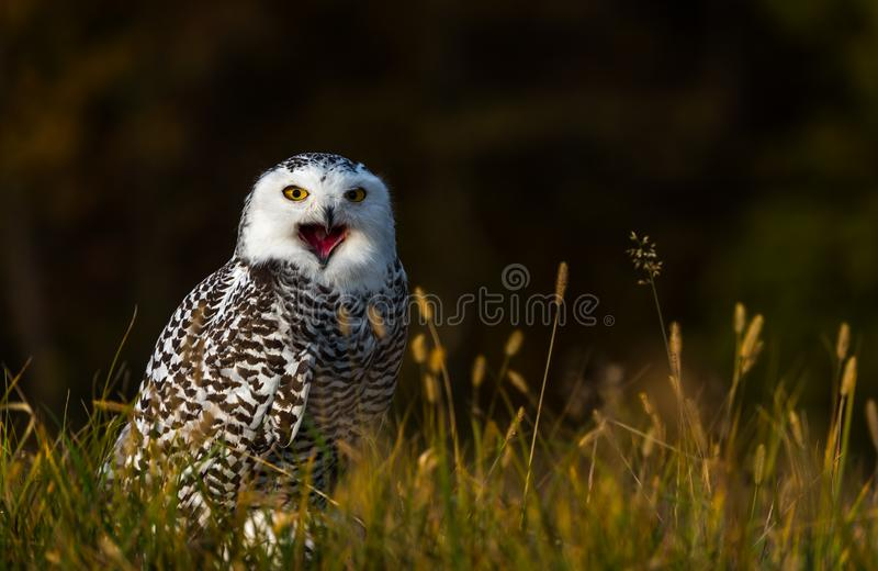 A snowy owl. A captive snowy owl sits on ground of a natural meadow during autumn . Southern Slovakia. eye contact / female black and whie plumage stock images