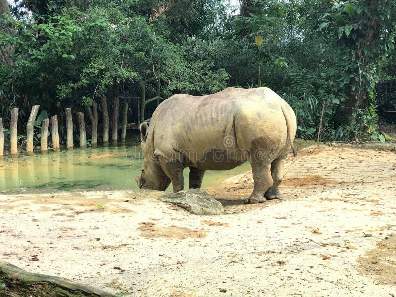 White square-lipped rhinoceros drinking water. Captive southern white square-lipped rhinoceros drinking water stock photo