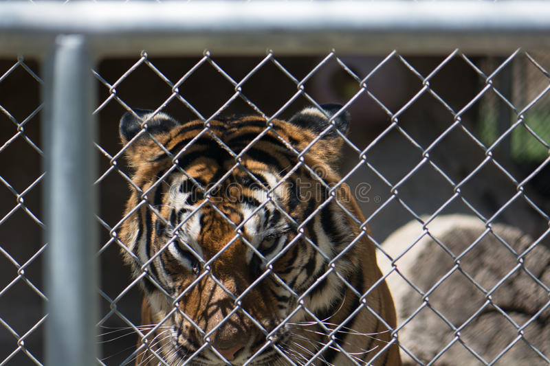Captive tiger looking through a fence. Captive female tiger looks through a fence from her cage. Her face, eyes, and whiskers are visible royalty free stock photography