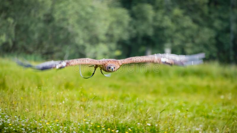 A captive white-tailed eagle Haliaeetus albicilla flies low and fast over a lush green meadow of grasses and wild flowers. stock photo