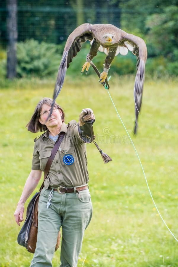 A captive white-tailed eagle Haliaeetus albicilla is launched for flight from a Falconer's gloved hand. stock image