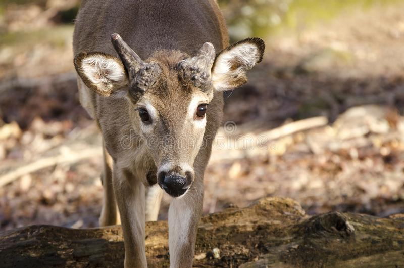 Captive Whitetailed Deer with broken antlers, Bear Hollow Zoo, Athens Georgia USA stock image