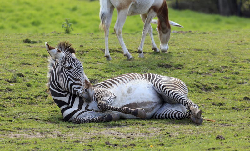 Captive Zebra royalty free stock images