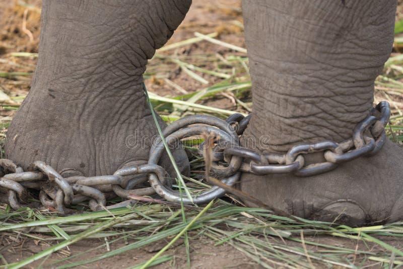 Captivity; elephant chained stock image