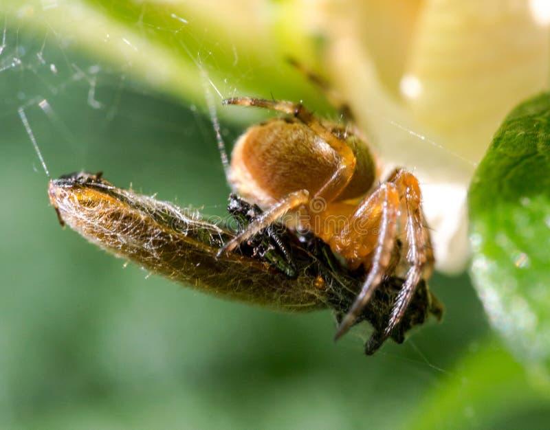 Captura da aranha uma vítima fotos de stock